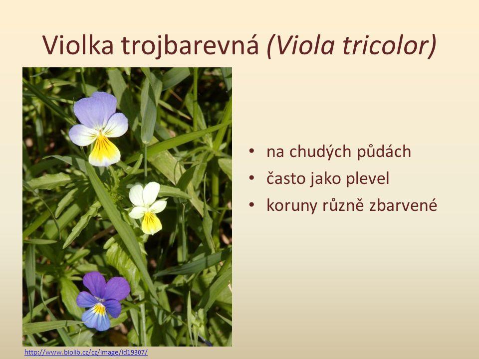 Violka trojbarevná (Viola tricolor) na chudých půdách často jako plevel koruny různě zbarvené http:// www.biolib.cz/cz/image/id19307/