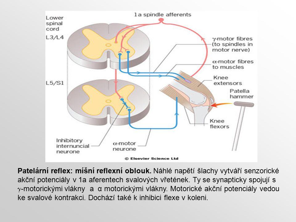Patelární reflex: míšní reflexní oblouk. Náhlé napětí šlachy vytváří senzorické akční potenciály v 1a aferentech svalových vřetének. Ty se synapticky