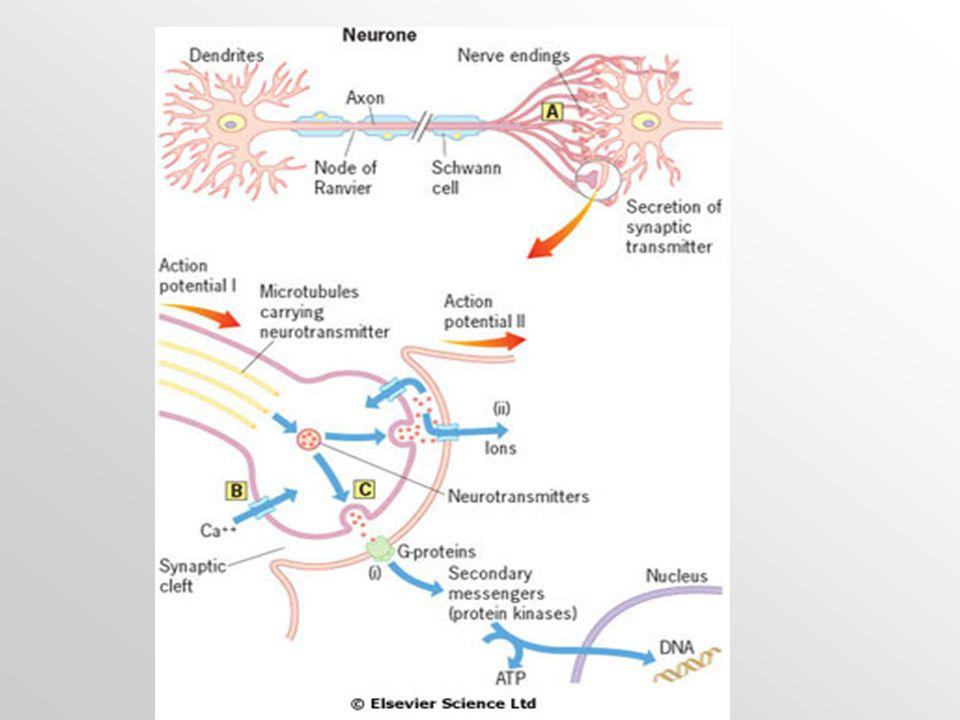 K předchozímu obrázku: funkční jednotka: neuron a neurotransmittery  Akční potenciál (tj.