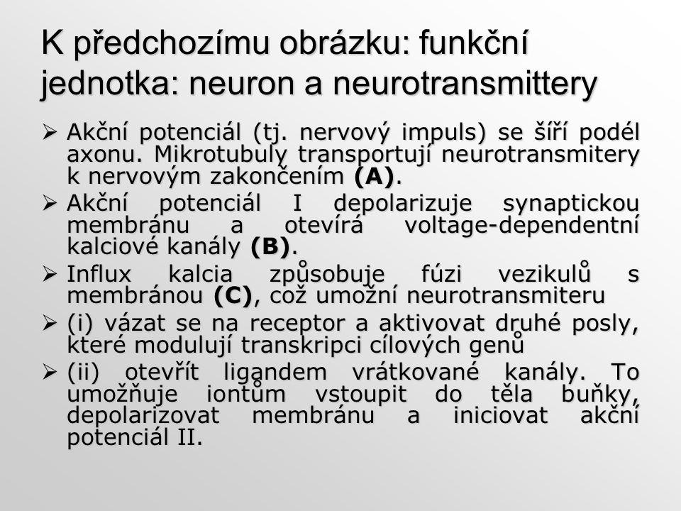 K předchozímu obrázku: funkční jednotka: neuron a neurotransmittery  Akční potenciál (tj. nervový impuls) se šíří podél axonu. Mikrotubuly transportu