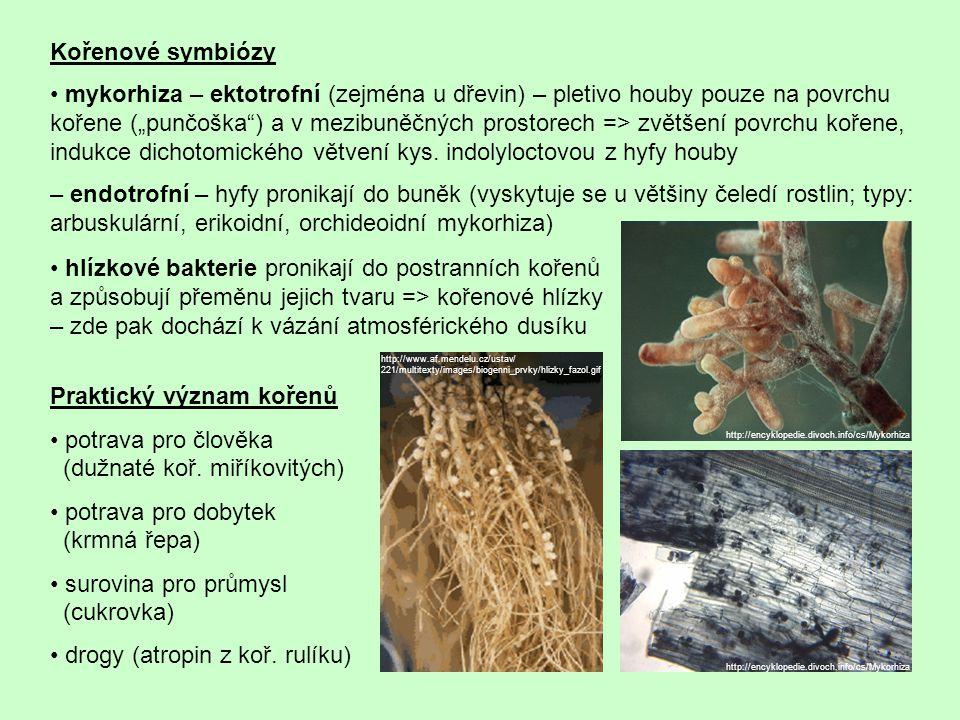 """Kořenové symbiózy mykorhiza – ektotrofní (zejména u dřevin) – pletivo houby pouze na povrchu kořene (""""punčoška ) a v mezibuněčných prostorech => zvětšení povrchu kořene, indukce dichotomického větvení kys."""