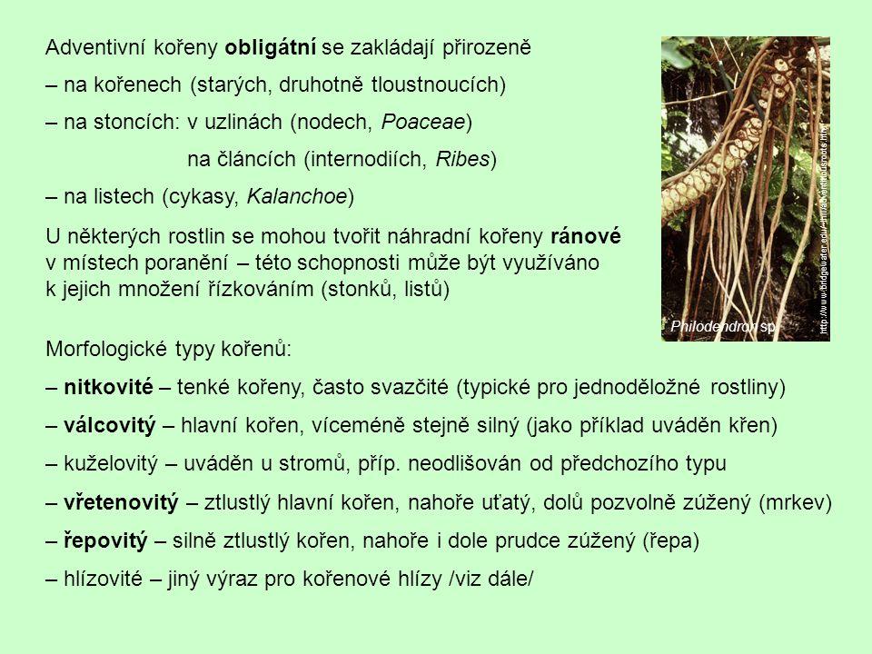 Adventivní kořeny obligátní se zakládají přirozeně – na kořenech (starých, druhotně tloustnoucích) – na stoncích: v uzlinách (nodech, Poaceae) na článcích (internodiích, Ribes) – na listech (cykasy, Kalanchoe) Morfologické typy kořenů: – nitkovité – tenké kořeny, často svazčité (typické pro jednoděložné rostliny) – válcovitý – hlavní kořen, víceméně stejně silný (jako příklad uváděn křen) – kuželovitý – uváděn u stromů, příp.
