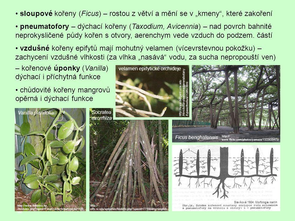 """sloupové kořeny (Ficus) – rostou z větví a mění se v """"kmeny , které zakoření pneumatofory – dýchací kořeny (Taxodium, Avicennia) – nad povrch bahnité neprokysličené půdy kořen s otvory, aerenchym vede vzduch do podzem."""