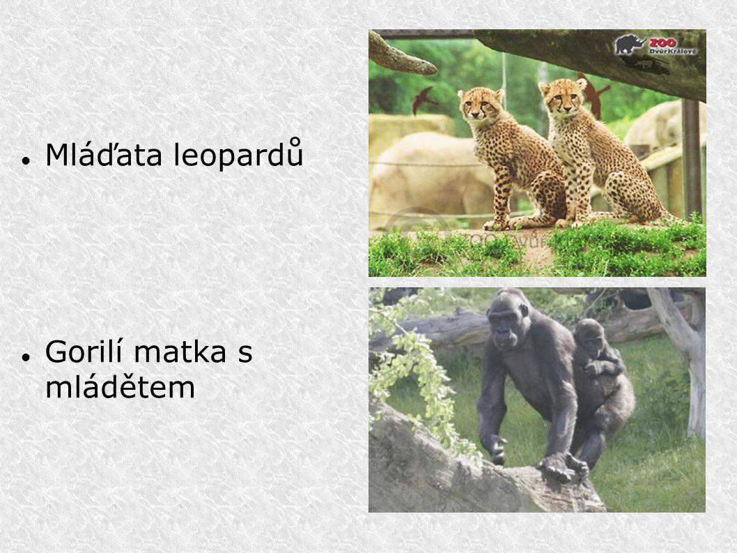 Mláďata leopardů Gorilí matka s mládětem