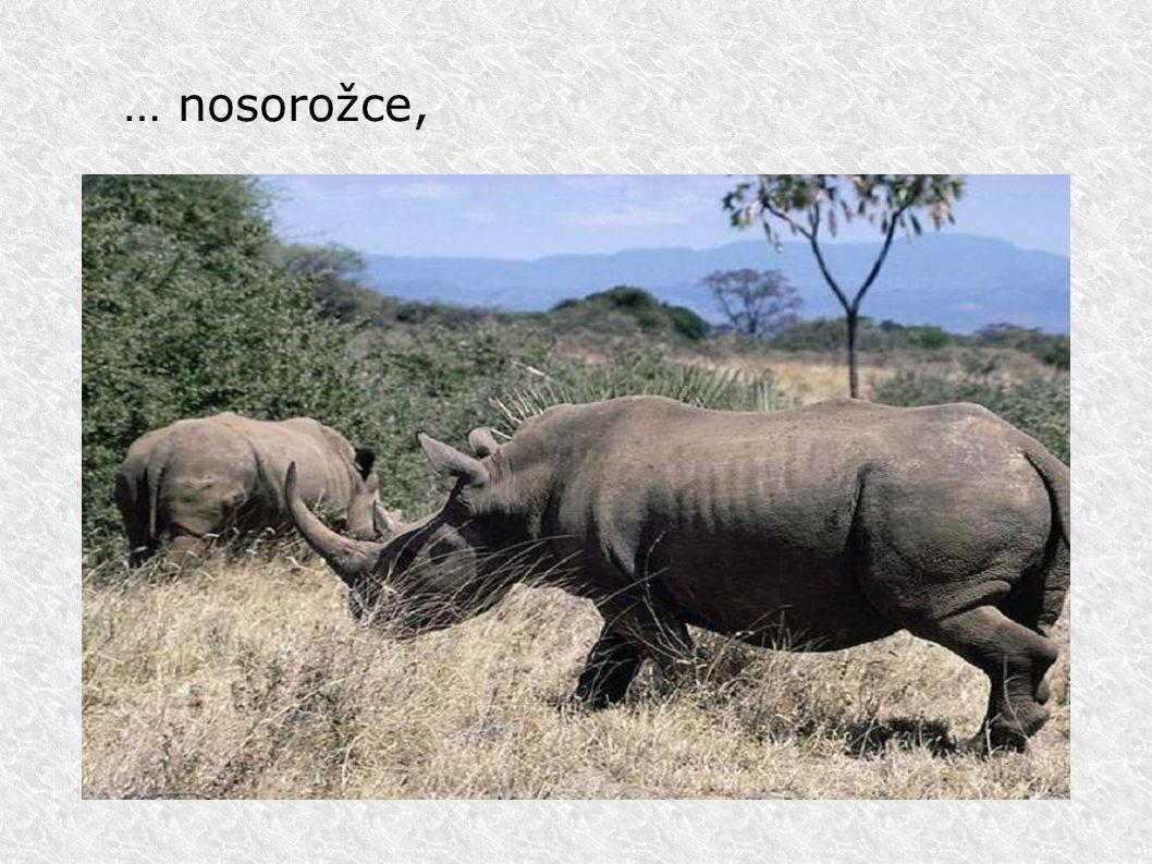 Safari v ZOO Dvůr Králové Protože se však všichni do Afriky nemohou podívat, tak byly zřizovány zoologické zahrady, které návštěvníkům nabízejí pohled na život zvířat.
