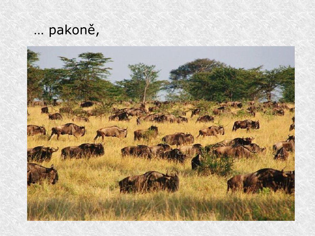 Ze života zvířat v ZOO Safaribus mezi zebrami Nosorožec ve výběhu