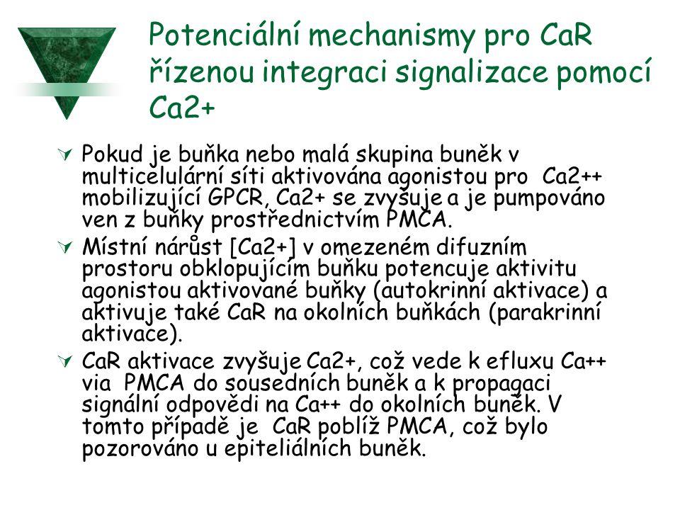 Potenciální mechanismy pro CaR řízenou integraci signalizace pomocí Ca2+  Pokud je buňka nebo malá skupina buněk v multicelulární síti aktivována agonistou pro Ca2++ mobilizující GPCR, Ca2+ se zvyšuje a je pumpováno ven z buňky prostřednictvím PMCA.