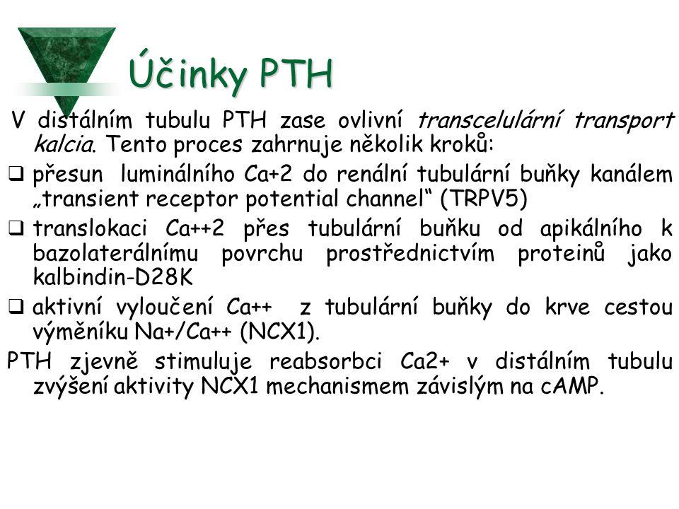 Účinky PTH V distálním tubulu PTH zase ovlivní transcelulární transport kalcia.