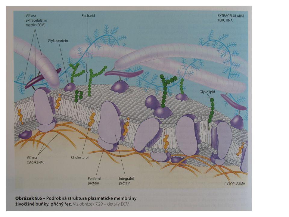Intracelulární homeostáza kalcia