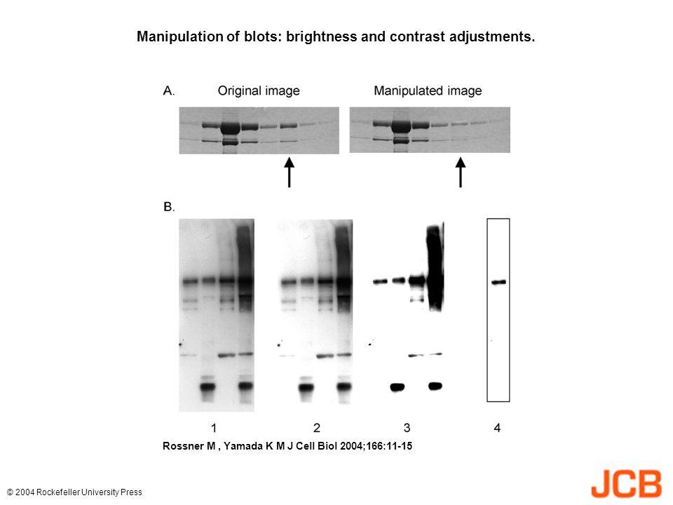 Manipulation of blots: brightness and contrast adjustments. Rossner M, Yamada K M J Cell Biol 2004;166:11-15 © 2004 Rockefeller University Press