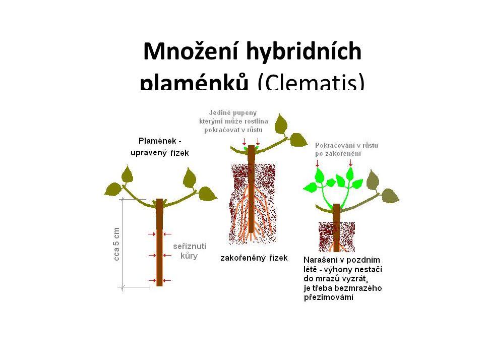 Množení hybridních plaménků (Clematis)