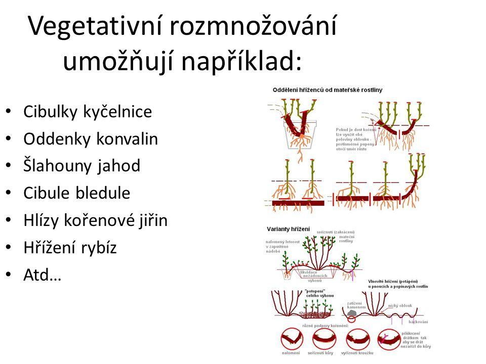 Vegetativní rozmnožování umožňují například: Cibulky kyčelnice Oddenky konvalin Šlahouny jahod Cibule bledule Hlízy kořenové jiřin Hřížení rybíz Atd…