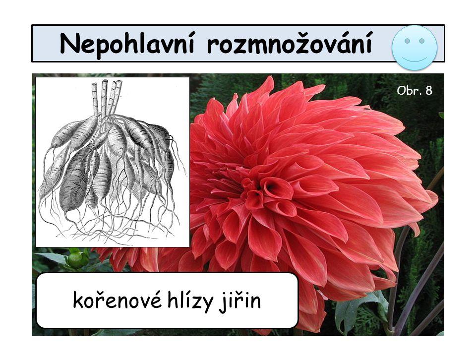 Nepohlavní rozmnožování kořenové hlízy jiřin Obr. 8