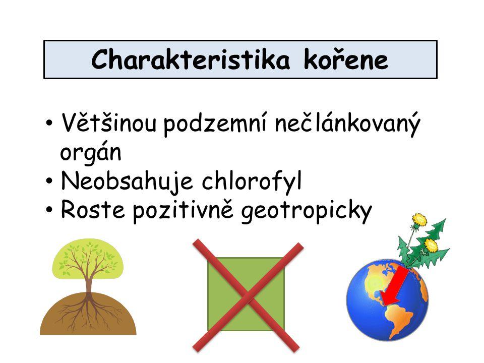 Charakteristika kořene Většinou podzemní nečlánkovaný orgán Neobsahuje chlorofyl Roste pozitivně geotropicky