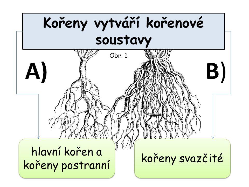 Kořeny vytváří kořenové soustavy hlavní kořen a kořeny postranní kořeny svazčité A)B)B) Obr. 1
