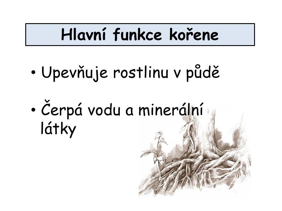 Hlavní funkce kořene Upevňuje rostlinu v půdě Čerpá vodu a minerální látky