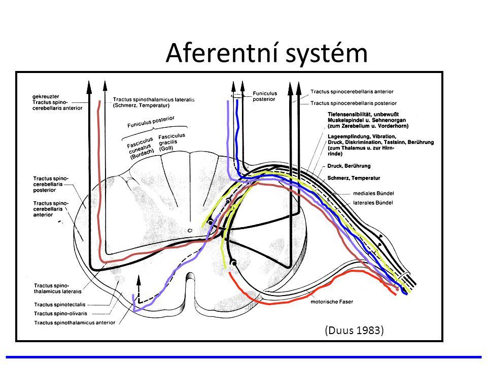 Aferentní systém (Duus 1983)