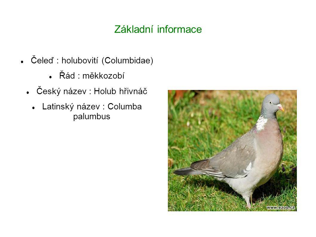 Základní informace Čeleď : holubovití (Columbidae) Řád : měkkozobí Český název : Holub hřivnáč Latinský název : Columba palumbus