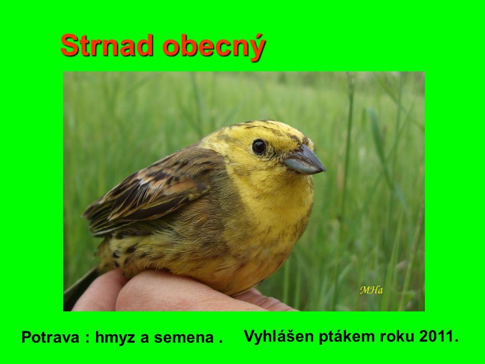 Strnad obecný Potrava : hmyz a semena. Vyhlášen ptákem roku 2011.