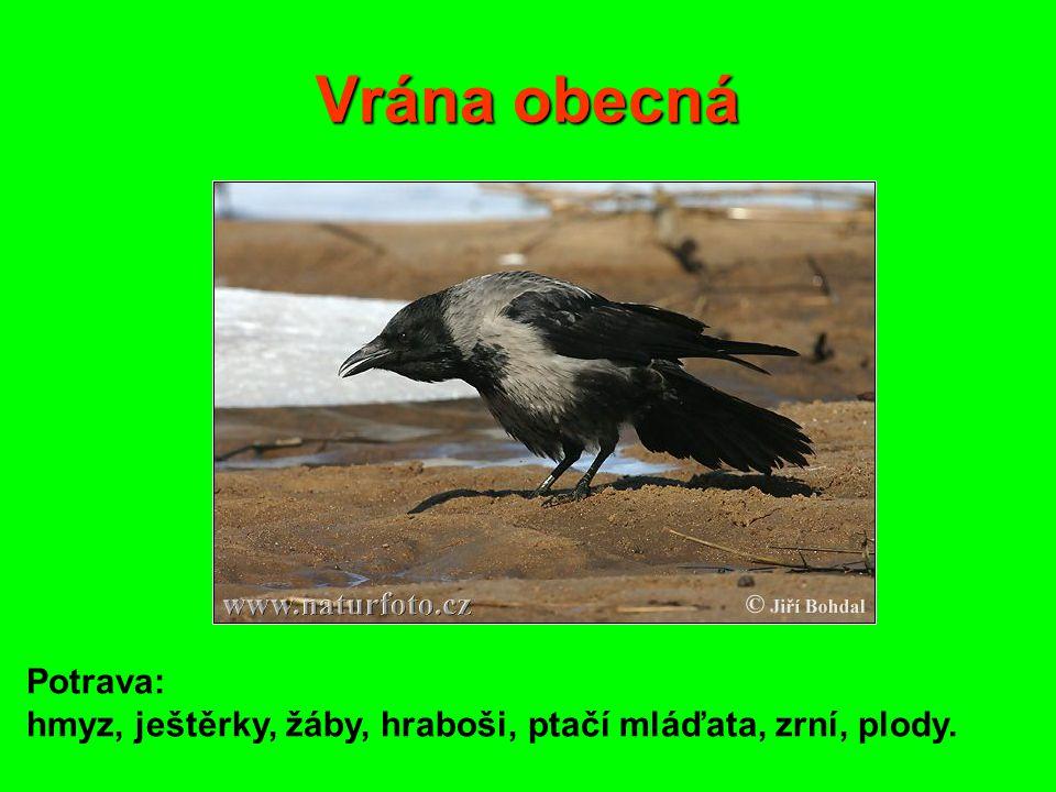 Vrána obecná Potrava: hmyz, ještěrky, žáby, hraboši, ptačí mláďata, zrní, plody.