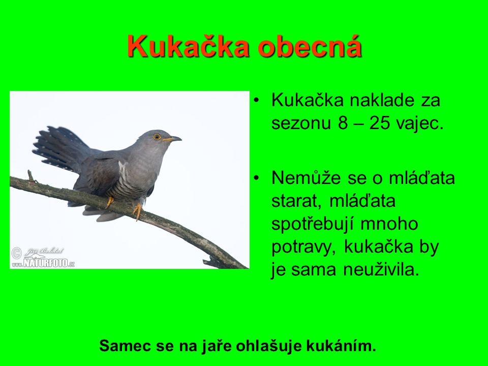 Pěvci Pěnice černohlavá samice samec Tažný pták.
