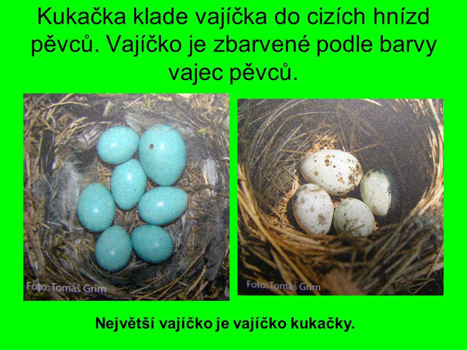 Kukačka klade vajíčka do cizích hnízd pěvců. Vajíčko je zbarvené podle barvy vajec pěvců. Největší vajíčko je vajíčko kukačky.