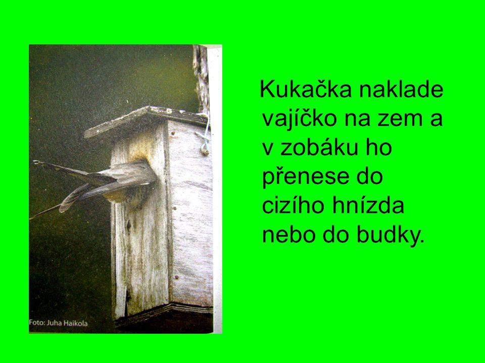 Ťuhýk obecný samice samec Potrava: brouci kobylky drobní obratlovci Tažný pták.