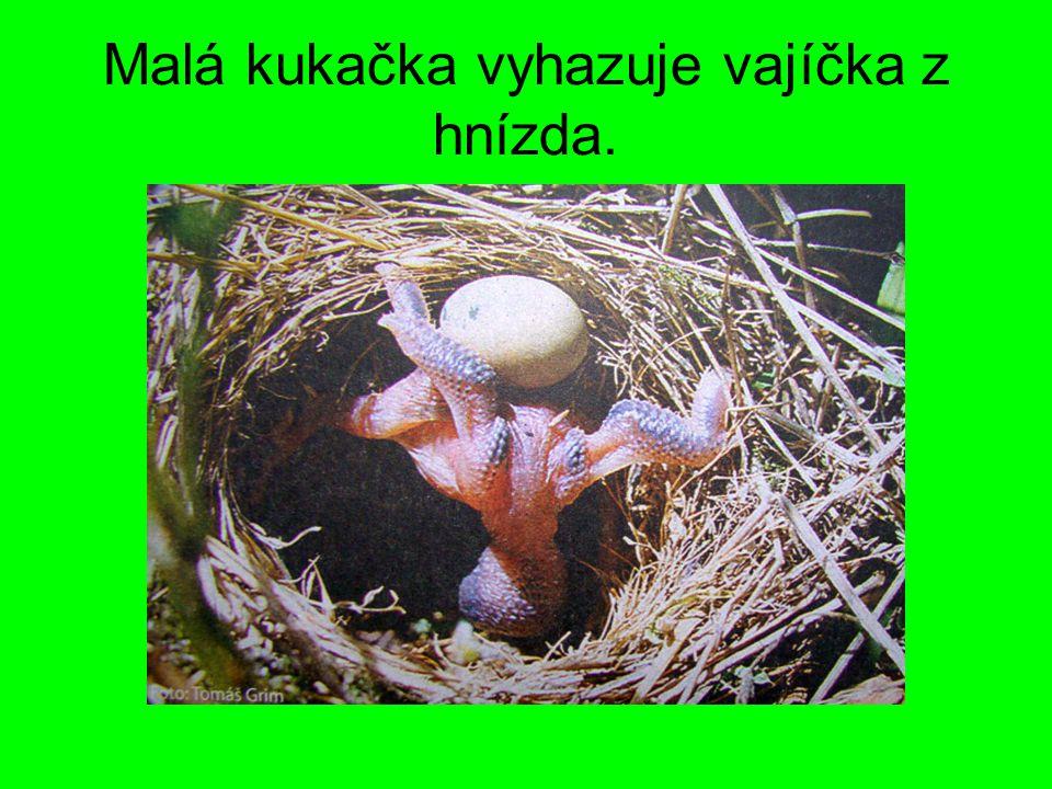 Malá kukačka vyhazuje vajíčka z hnízda.