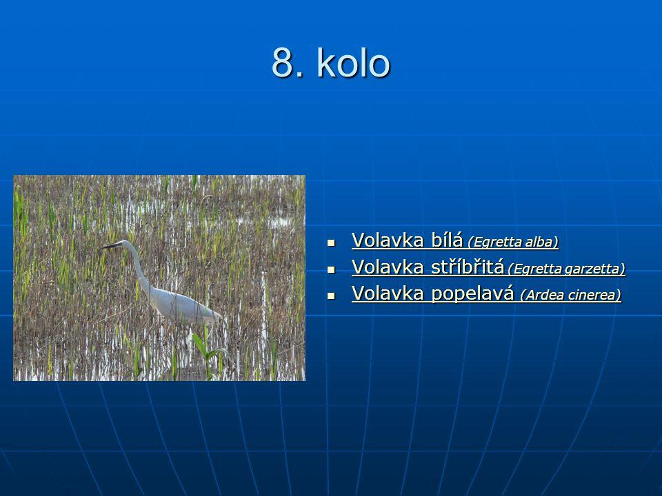 8. kolo Volavka bílá (Egretta alba) Volavka bílá (Egretta alba) Volavka bílá (Egretta alba) Volavka bílá (Egretta alba) Volavka stříbřitá (Egretta gar