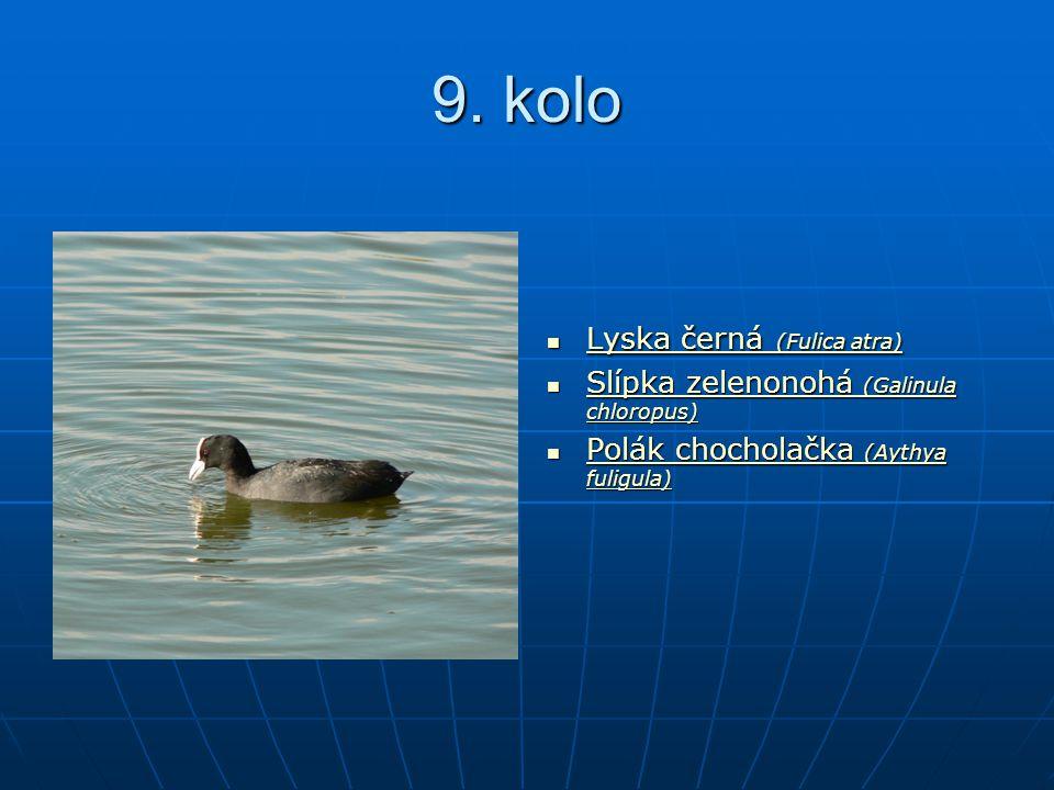 9. kolo Lyska černá (Fulica atra) Lyska černá (Fulica atra) Lyska černá (Fulica atra) Lyska černá (Fulica atra) Slípka zelenonohá (Galinula chloropus)