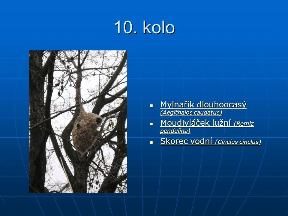 10. kolo Mylnařík dlouhoocasý (Aegithalos caudatus) Mylnařík dlouhoocasý (Aegithalos caudatus) Mylnařík dlouhoocasý (Aegithalos caudatus) Mylnařík dlo