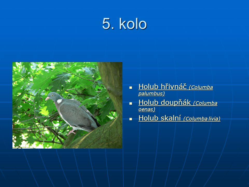 5. kolo Holub hřivnáč (Columba palumbus) Holub hřivnáč (Columba palumbus) Holub hřivnáč (Columba palumbus) Holub hřivnáč (Columba palumbus) Holub doup
