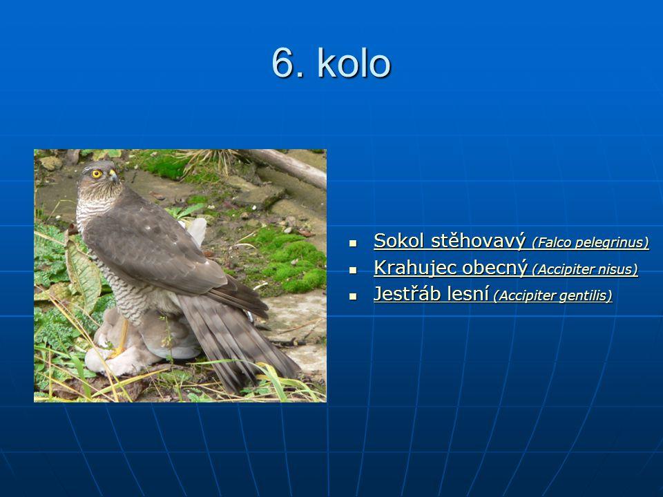 6. kolo Sokol stěhovavý (Falco pelegrinus) Sokol stěhovavý (Falco pelegrinus) Sokol stěhovavý (Falco pelegrinus) Sokol stěhovavý (Falco pelegrinus) Kr