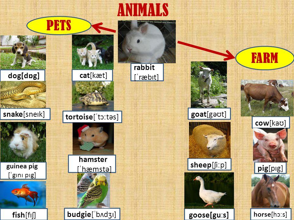 ANIMALS dog[dɒg] cat[kæt] snake[sneɪk] tortoise[ˈtɔːtəs] guinea pig [ˈgɪnɪ pɪg] fish[fɪʃ] budgie[ˈbʌdʒɪ] hamster [ˈhæmstə] rabbit [ˈræbɪt] PETS FARM g