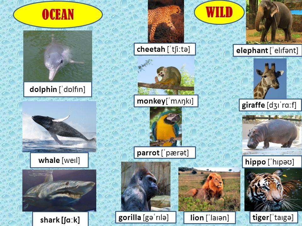 cheetah [ˈtʃiːtə] elephant [ˈelɪfənt] monkey[ˈmʌŋkɪ] giraffe [dʒɪˈrɑːf] parrot [ˈpærət] hippo [ˈhɪpəʊ] gorilla [gəˈrɪlə]tiger[ˈtaɪgə] WILD dolphin [ˈd