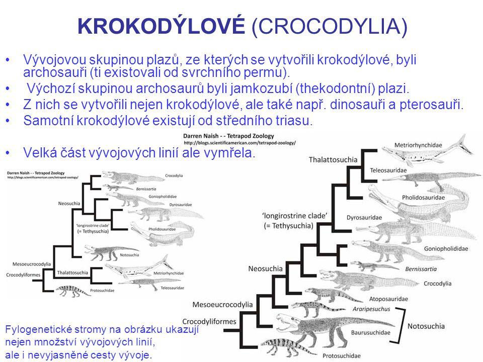 KROKODÝLOVÉ (CROCODYLIA) Žijící krokodýlové jsou velcí plazi s protáhlým tělem, dlouhým kýlovitým ocasem a výrazně protáhlou lebkou.