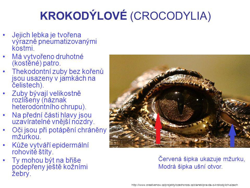 KROKODÝLOVÉ (CROCODYLIA) Jejich lebka je tvořena výrazně pneumatizovanými kostmi.