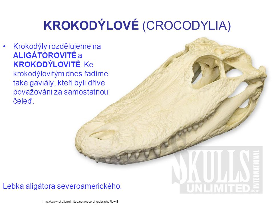 KROKODÝLOVÉ (CROCODYLIA) Krokodýly rozdělujeme na ALIGÁTOROVITÉ a KROKODÝLOVITÉ.