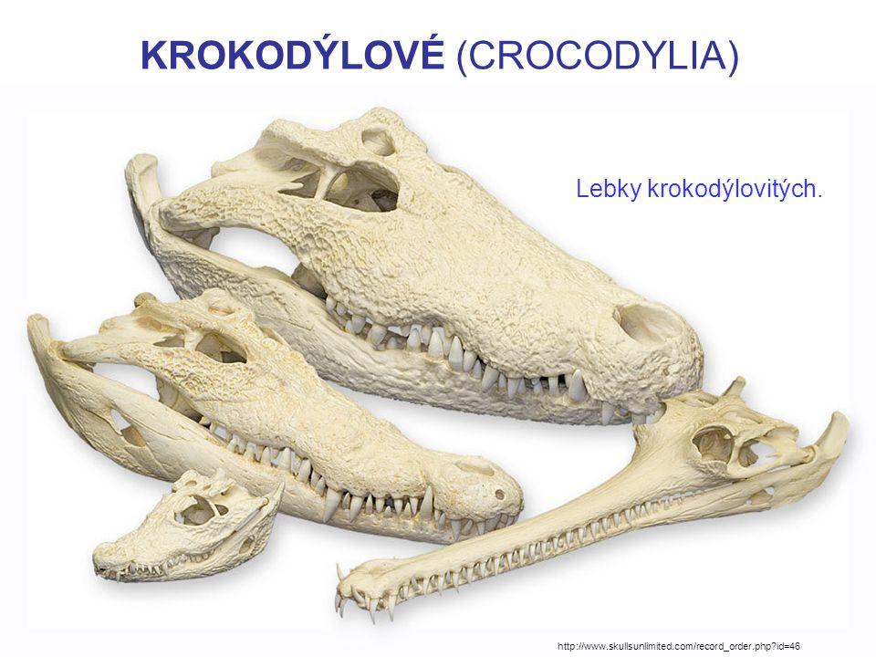 KROKODÝLOVÉ (CROCODYLIA) Lebky krokodýlovitých.