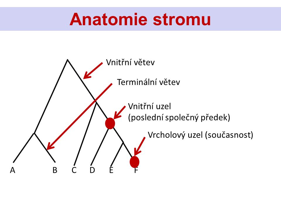 Anatomie stromu Vnitřní větev Vnitřní uzel (poslední společný předek) Terminální větev Vrcholový uzel (současnost) ABCDEF