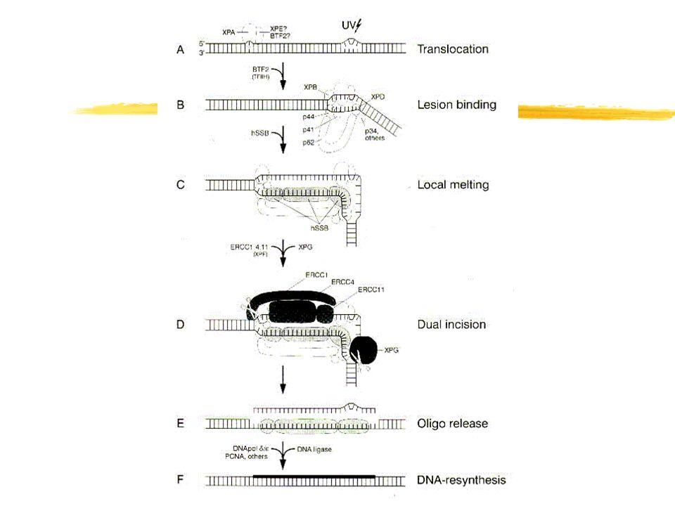 Opravy DNA a příčiny chyb v opravách zPoruchy způsobené defekty v enzymech opravujících poškození zPoruchy způsobené chybami mechanizmů kontroly DNA - enzymy jsou funkční, ale k opravě nedojde zOpravou DNA je fixována chyba