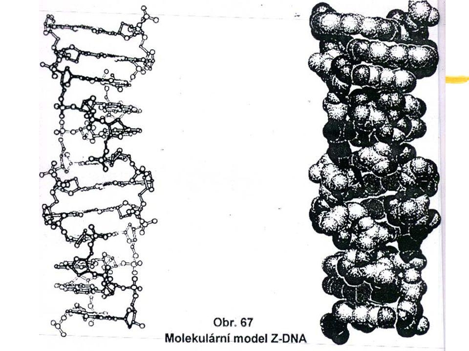 Mutace somatické a germinativní Mezi těmito mutacemi existuje řada podstatných rozdílů: = Somatické mutace vznikají v jediné buňce, nebo klonu buněk.