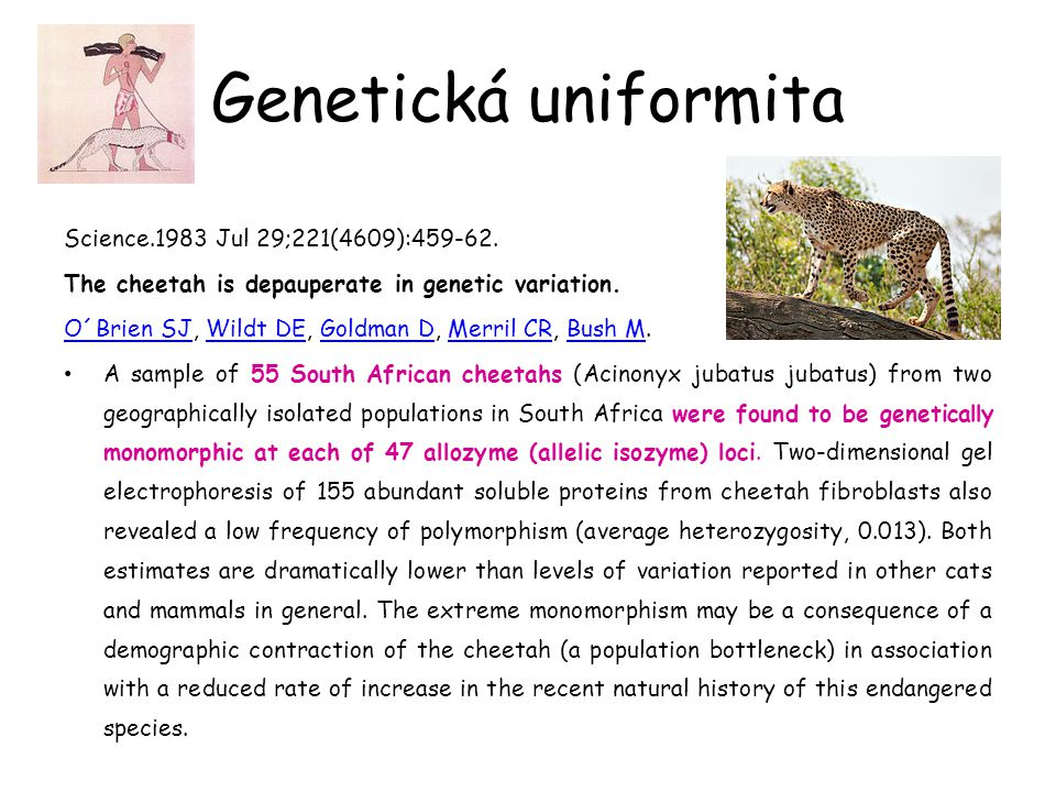 Genetická uniformita Science.1983 Jul 29;221(4609):459-62. The cheetah is depauperate in genetic variation. O´Brien SJO´Brien SJ, Wildt DE, Goldman D,