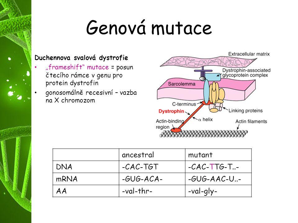"""Genová mutace Duchennova svalová dystrofie """"frameshift"""" mutace = posun čtecího rámce v genu pro protein dystrofin gonosomálně recesivní – vazba na X c"""