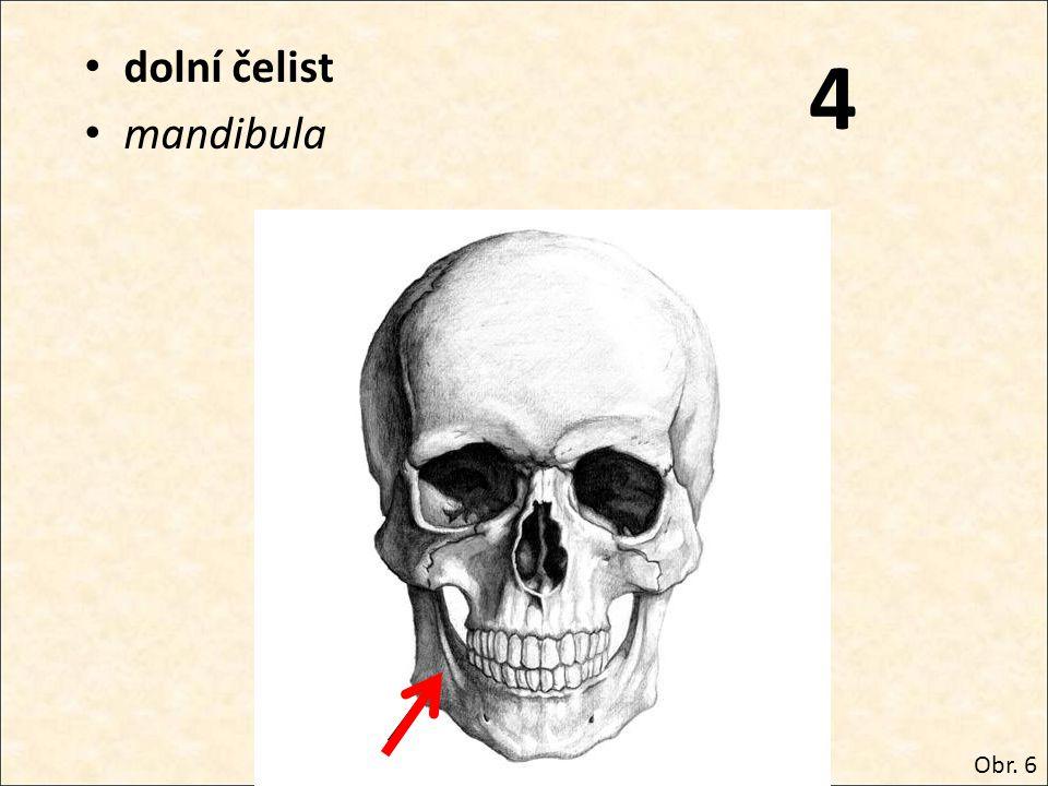 4 dolní čelist mandibula Obr. 6