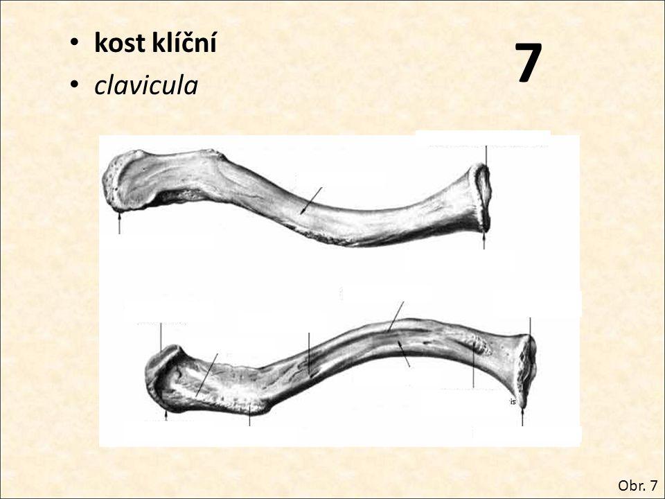7 kost klíční clavicula Obr. 7
