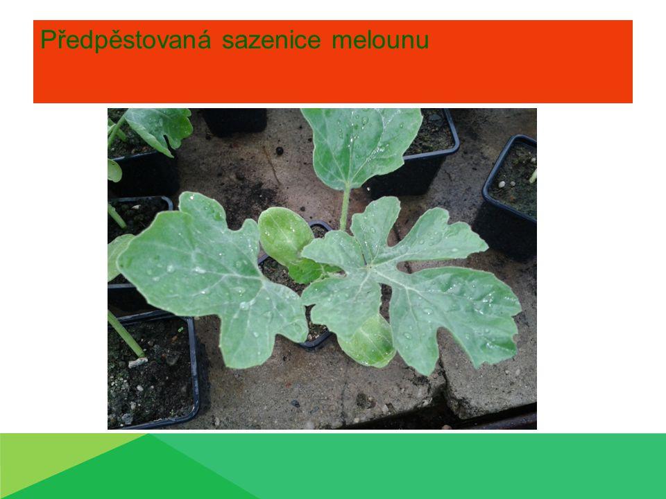 Předpěstovaná sazenice melounu