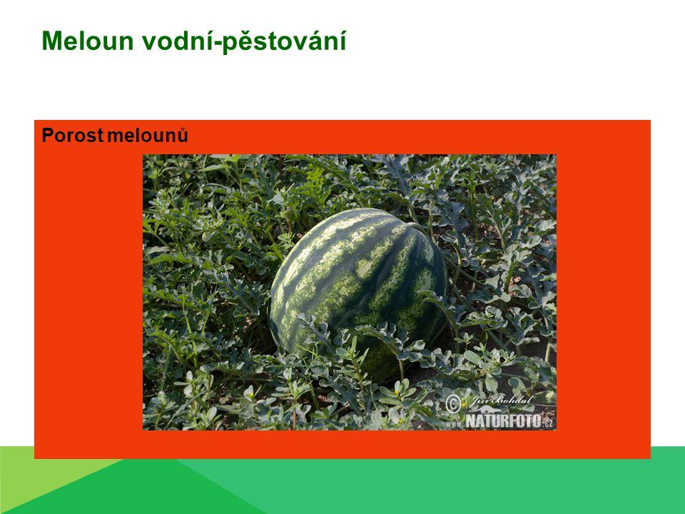 Meloun vodní-pěstování Porost melounů