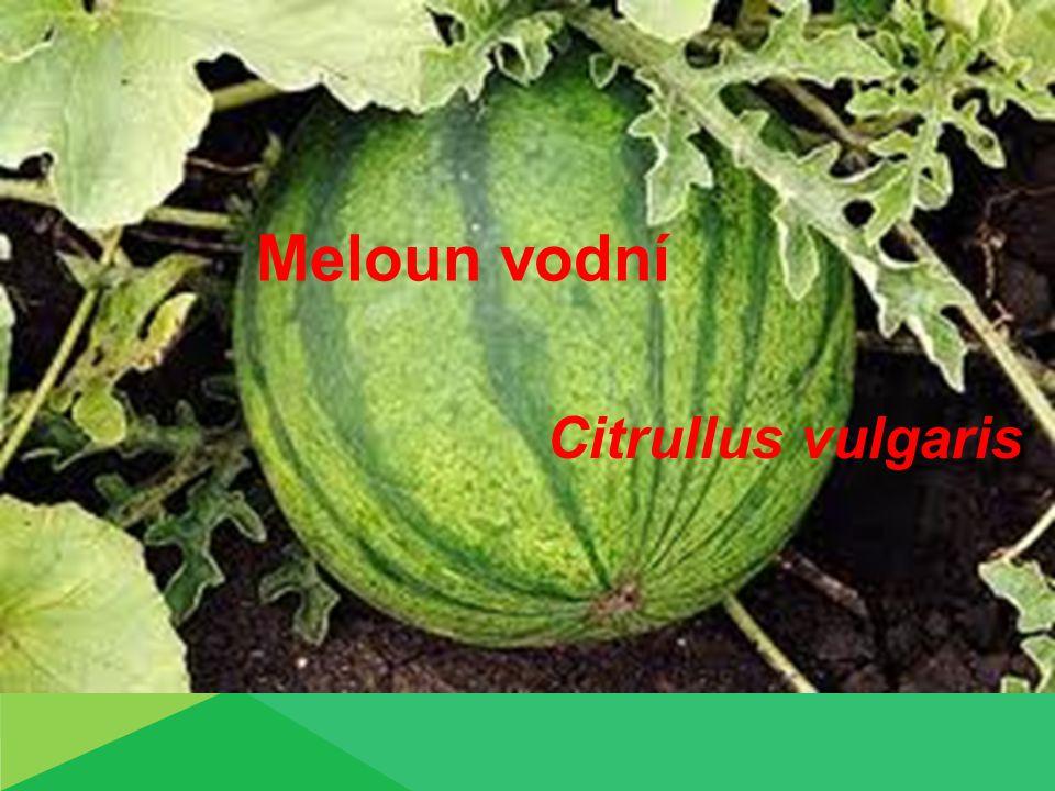 Meloun vodní Citrullus vulgaris