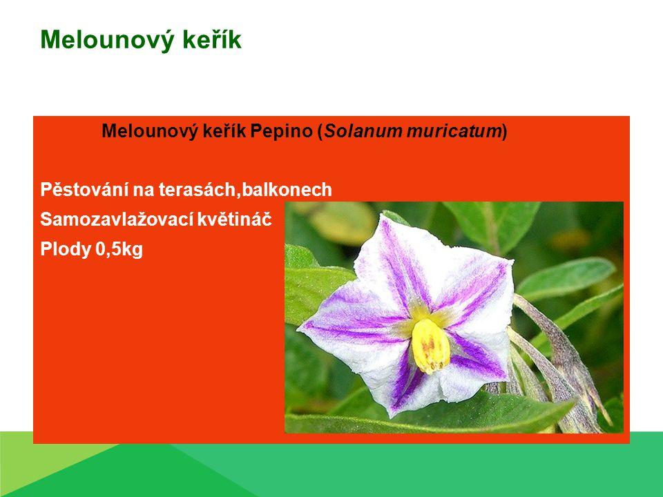 Melounový keřík Melounový keřík Pepino (Solanum muricatum) Pěstování na terasách,balkonech Samozavlažovací květináč Plody 0,5kg